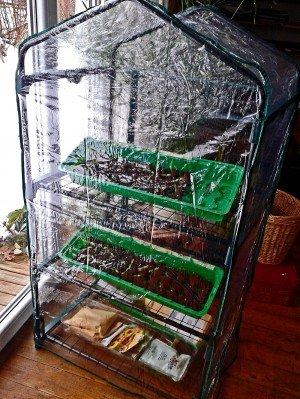 Das Zimmergewächshaus mit Saatschalen steht im Wohnzimmer vor der Terassentür