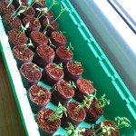 Petersilie, Chilies und Auberginen - Anzucht am Fensterbrett