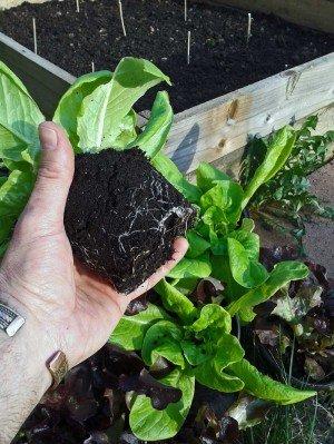 Kräftige Salatpflanzen durch Vorpflanzung