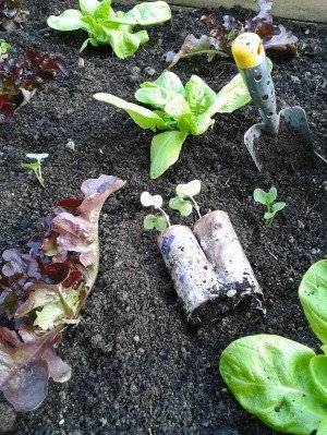 Frühbeet mit Salaten und vorgezogenem Rettich