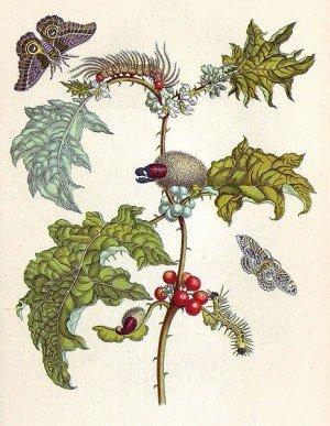Kolorierter Kupferstich der Maria Sybilla Merian aus Metamorphosis insectorum Surinamensium