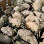 Kartoffeln mit Trieben in einer Kiste