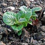 Junger Kartoffeltrieb mit Blättern