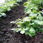Beet mit Kartoffelpflanzen
