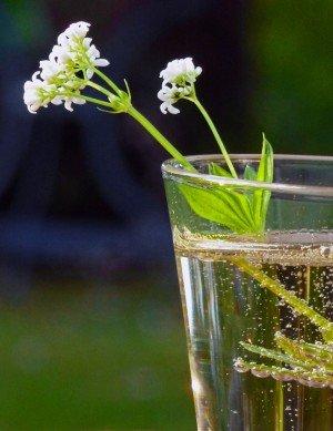 Waldmeisterbowle im Glas mit einem Zweig Waldmeister