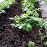 Beet mit mit 2 Reihen Kartoffelpflanzen