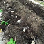 Einzelne Kartoffeln Annabelle mit Abstand in die Erde gelegt