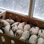Kartoffel Annabelle in einem kleinen Kistchen