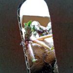 Annabelle Kartoffeln in Kiste mit grünen Trieben