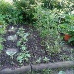 Tomaten, Kohlrüben Juni 2013
