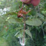 Gartenkreuzspinne auf Baumblatt