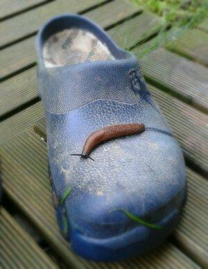 Nacktschnecke auf des Gärtners Schuh