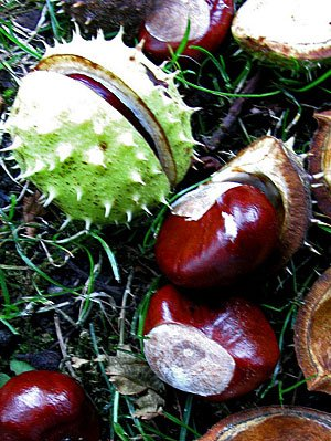 Kastanien - Foto by Hiltrud Möller-Eberth, flickr