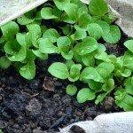 Feldsalat unter Vlies im Dezember