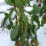 Rosenkohl bei Dezember-Frost