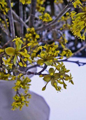 Blüte der Kornelkirsche - Voraussetzung für viele Kornelkirschen Rezepte