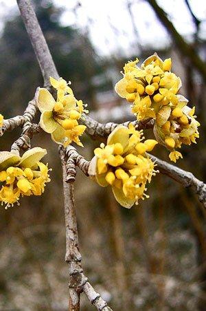 Blüte der Kornelkirsche  (Foto: TeunSpaans)