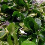 Frische Feldsalat aus dem Garten