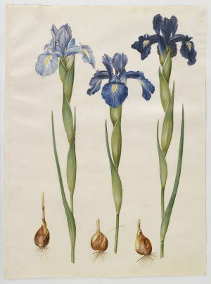 Iris xiphioides (Gottorfer Codex)