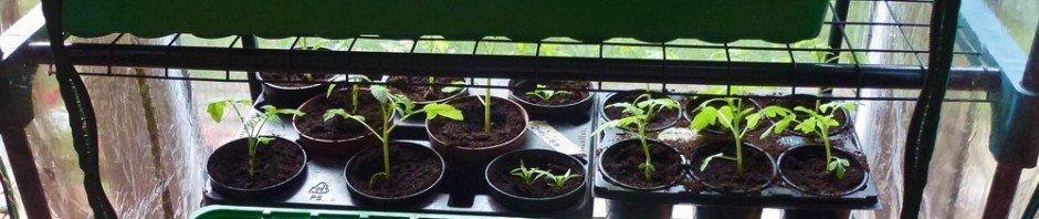 Gurken-, Tomaten- und Chilianzucht im Kleingewächshaus