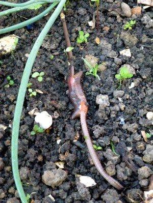 Paarung von Regenwürmern