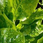 Schnittsalat - Zeit zur Enrte