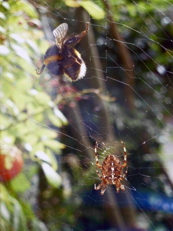 Hummel im Spinnennetz