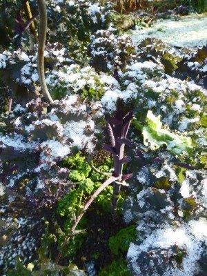 Im Winter ernten -. Schneebedeckte Kohlpflanze
