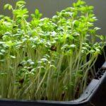 Kresse Sprossen ziehen - 2 cm hohe grüne Keimlinge