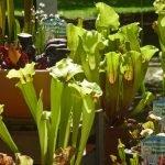 P1200861 fleischfressende pflanzen Gartentage 2017 150x150 - Die 22. internationalen Freisinger Gartentage heißen Slowenien willkommen - gartenliteratur, blumen-im-garten