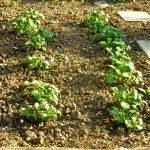 P1210036 garten am 19.05 kartoffeln 150x150 - Garten- und Beetplan Frühling/Sommer 2017 - kuechengarten, gartenplanung