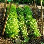P1210037 garten am 19.05 bohnenbeet mit kleinsalaten 150x150 - Garten- und Beetplan Frühling/Sommer 2017 - kuechengarten, gartenplanung
