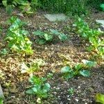 P1210039 garten am 19.05 zucchini eiszapfen 150x150 - Garten- und Beetplan Frühling/Sommer 2017 - kuechengarten, gartenplanung
