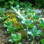 P1210040 garten am 19.05 kohl salatjpg 150x150 - Garten- und Beetplan Frühling/Sommer 2017 - kuechengarten, gartenplanung