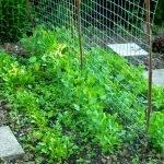P1210041 garten am 19.05 zuckerschoten kresse rucolajpg 150x150 - Garten- und Beetplan Frühling/Sommer 2017 - kuechengarten, gartenplanung