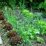 P1210042 garten am 19.05 rettich salat zwiebeln 150x150 - Garten- und Beetplan Frühling/Sommer 2017 - kuechengarten, gartenplanung
