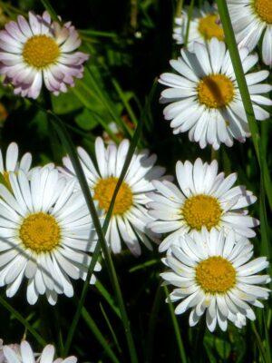 Das Gänseblümchen ist Heilpflanze des Jahres