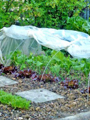Salat und Rettichen unter dem Folientunnel