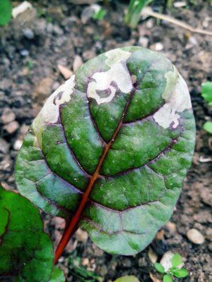 Schon am jungen Mangold helle Flecken vom Schädling
