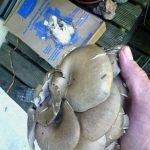 Ernte der Austernpilze