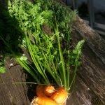 Vier kleine Karotten ganz eng ineinander verwachsen
