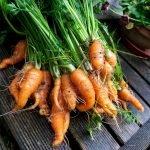Ein Bund kleiner, stark gekrümmter Karotten