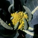 20170630 142835 romanesco sonnenbrand 150x150 - Gartennotizen Oktober 2017 - gartentagebuch-2018, gartenpraxis