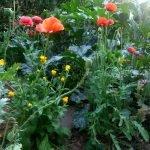 20170705 061107 gemuesegarten mit blumen 150x150 - Gartennotizen Oktober 2017 - gartentagebuch-2018, gartenpraxis