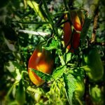 Nahaufnahme der Früchte der Tomate Himmelsstürmer