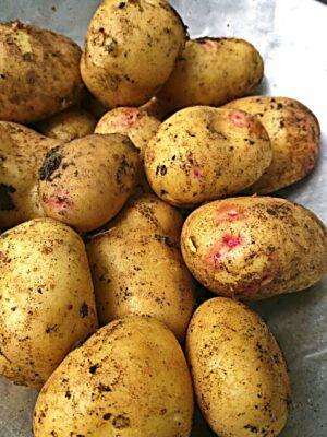 Mehrere Kartoffeln, Sorte Quarta, noch erdbehaftet