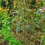 Rankgitter mit Tomaten, die Blätter von der Tomaten Braunfäule braun und verwelkt