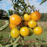 Gelbe Open Source Tomaten Sunviva hängen in einer kompakten Traube