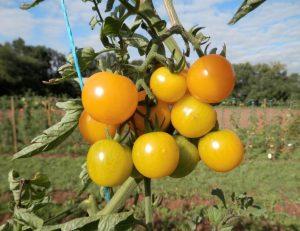 Die Gelbe Sunviva-Tomaten hängen in einer kompakten Traube