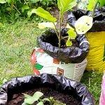 Jungpflanzen in Pflanzsäcken
